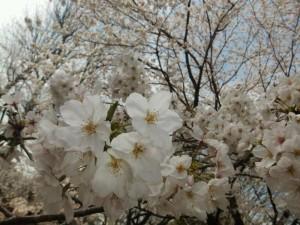 2013_0328_13261000.桜2