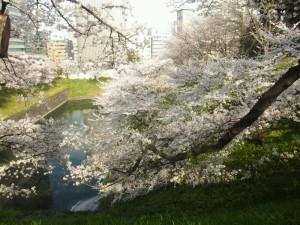 2013_0328_15064100.桜3
