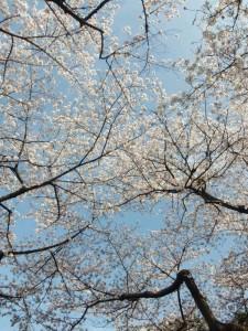2013_0328_15065900桜4